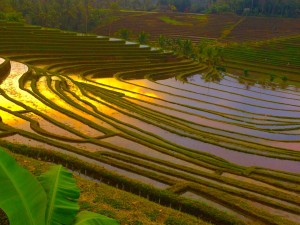 One of many rice terraces around Ubud