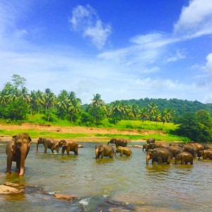 Pinawalla Elephant Orphanage in Sri Lanka